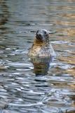 Grey Seal Halichoerus grypus, djur som dyker upp från vattnet Arkivfoton