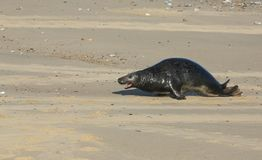 A Grey Seal Halichoerus grypus moving up the beach from the sea at Horsey, Norfolk, UK. Stock Images