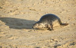A Grey Seal Halichoerus grypus moving up the beach from the sea at Horsey, Norfolk, UK. Stock Photo