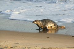 A Grey Seal Halichoerus grypus moving up the beach from the sea at Horsey, Norfolk, UK. Royalty Free Stock Image