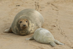 A Grey Seal Halichoerus grypus mum with her newly born pup lying on the beach. A Grey Seal Halichoerus grypus mum with her newly born pup lying on the beach in Stock Images
