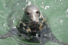 Grey Seal (Halichoerus grypus), Newquay, UK Royalty Free Stock Images