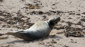 Grey seal pup on beach Royalty Free Stock Image