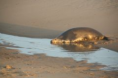 A Grey Seal Halichoerus grypus resting on the beach at the edge of the sea at Horsey, Norfolk, UK. Royalty Free Stock Image