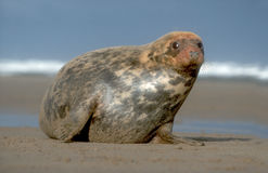 Grey seal, Halichoerus grypus Royalty Free Stock Image