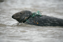 Grey seal, Halichoerus grypus. Single mammal in with fishing net around neck, Lincolnshire Royalty Free Stock Photo