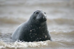 Grey seal, Halichoerus grypus Stock Image
