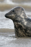 Grey seal, Halichoerus grypus Stock Images