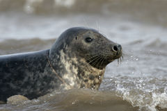 Grey seal, Halichoerus grypus Royalty Free Stock Images