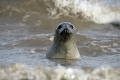 Grey seal, Halichoerus grypus. Single mammal in water, Lincolnshire Royalty Free Stock Image