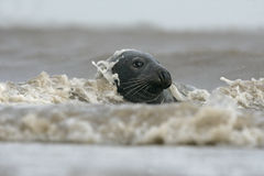 Grey seal, Halichoerus grypus Stock Photography