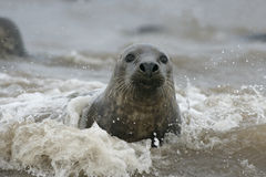 Grey seal, Halichoerus grypus. Single mammal in water, Lincolnshire Stock Image