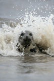 Grey seal, Halichoerus grypus Royalty Free Stock Photos