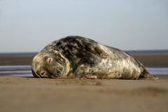 Grey seal, Halichoerus grypus. Single mammal by water, Lincolnshire Stock Image