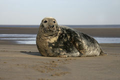 Grey seal, Halichoerus grypus. Single mammal by water, Lincolnshire Stock Photo