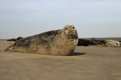Grey seal, Halichoerus grypus Royalty Free Stock Photography