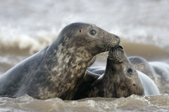 Grey seal, Halichoerus grypus Stock Photo
