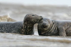 Grey seal, Halichoerus grypus Stock Photos