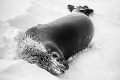 The grey seal. Has a rest  in Antarctica Royalty Free Stock Photography