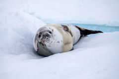 The grey seal has a rest on the snow. In Antarctica. Close-up Stock Image