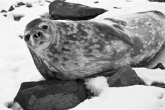 The grey seal. Has a rest on stones in Antarctica Royalty Free Stock Image
