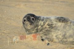 Grey Seal at Horsey. Grey Seal on the sand with a pup at Horsey Norfolk UK Stock Photo