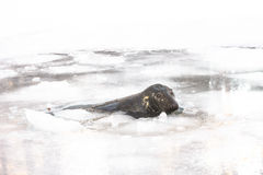 Grey seal in ica-hole Stock Image