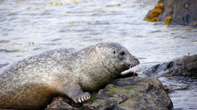 Grey seal in Iceland. Grey seal climbing on rock at Ytra Tunga in Iceland stock photography