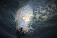 Grey Seal In The Water Royalty Free Stock Photography