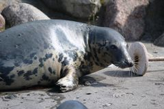 Grey Seal In The Water Stock Images