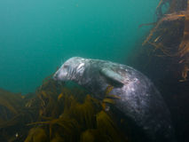 Grey seal in kelp 01. Wide-angle shot of an inquisitive young grey seal playing in kelp at North Wames, at the Farne Islands, Northumberland, UK Stock Photo