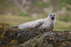 Grey seal laying on a bed of kelp Stock Image
