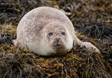 Grey seal looking Royalty Free Stock Photography