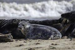 Grey Seal manchado imagens de stock