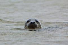 Grey Seal med för huvud vatten över - Arkivfoton