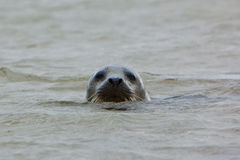 Grey Seal met hoofd hierboven - water Stock Foto's