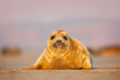 Grey Seal, morning sun in the sand beach, sea in the background, Helgoland island, Germany Royalty Free Stock Image