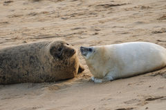 Grey Seal mum & pup Royalty Free Stock Photography