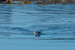 Grey Seal near Hvitserkur, North Iceland Royalty Free Stock Images