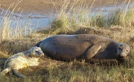 Grey seal with newborn pup Stock Photography