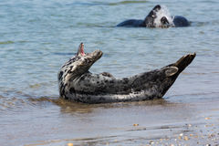 Grey seal with open mouth at the beach of German island Helgolan Stock Photography