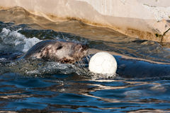 Grey seal playing white ball. A grey seal in a pool playing a white ball Royalty Free Stock Photos