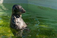 Grey seal in pool Stock Image