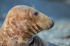 Grey seal portrait. Portrait of a grey male seal Royalty Free Stock Photo