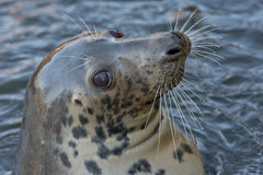 Grey seal portrait Royalty Free Stock Images