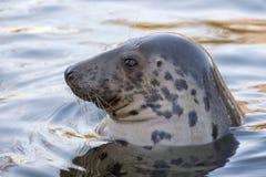 Grey seal portrait Royalty Free Stock Photos