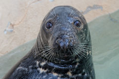 Grey seal portrait Royalty Free Stock Photography