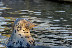Grey seal portrait Stock Images