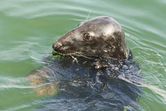 Grey Seal portrait Royalty Free Stock Photos