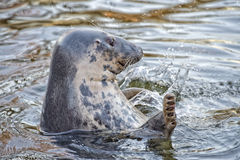 Grey seal portrait while moving its fin Stock Photos